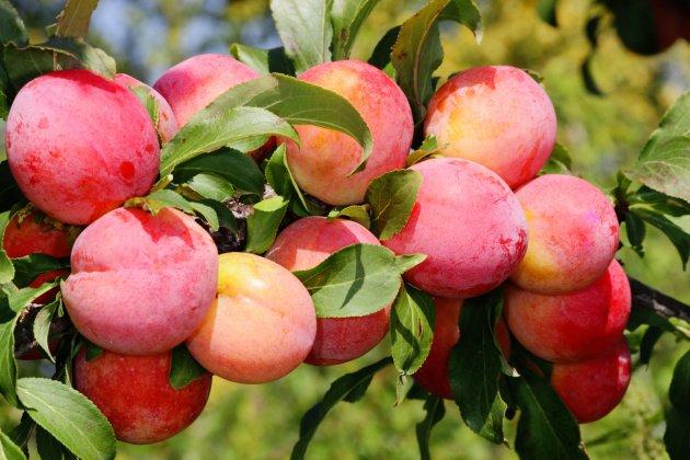 Спелые плоды сорта Аленушка