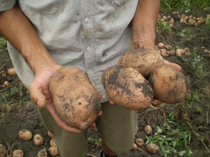 Огромные корнеплоды Беллароза в руках