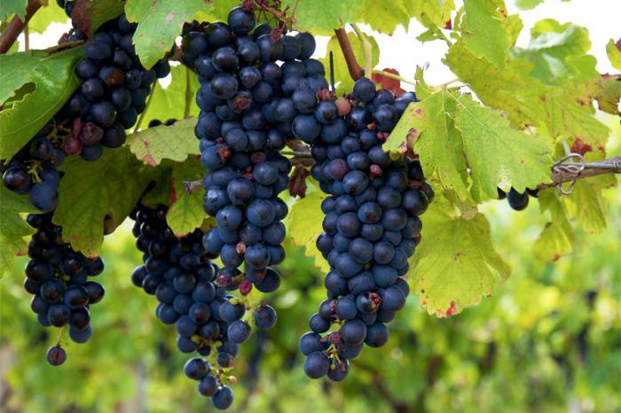 Изабелла - несколько гроздей не ветке