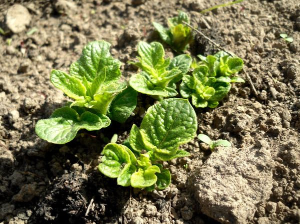 Какие удобрения вносить при посадке картофеля в лунку