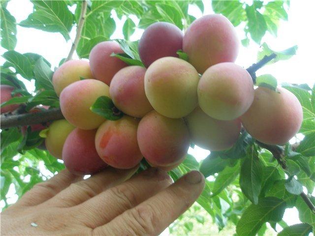 Плодовая гроздь на ветке