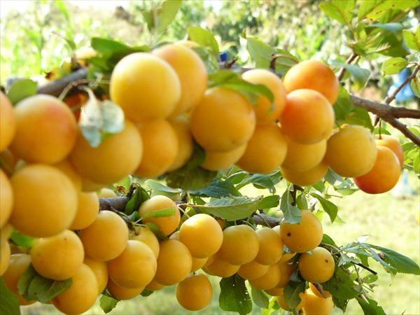 Крупная гроздь желтой сливы