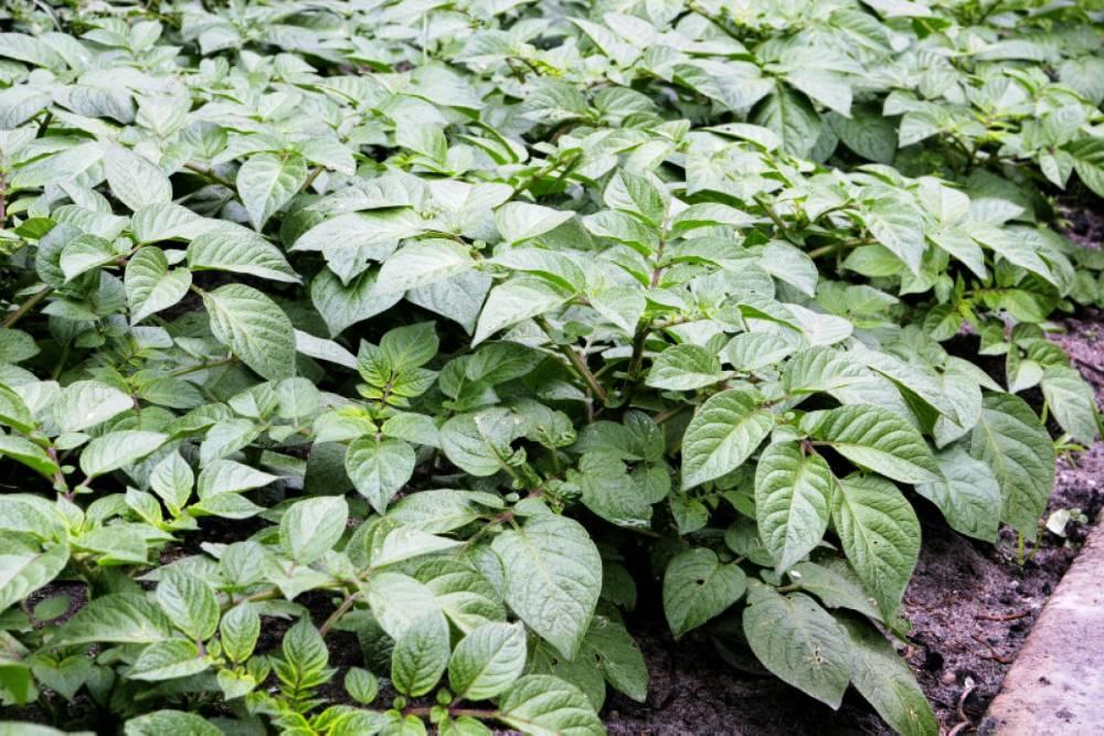 Как получить максимальный урожай картофеля с 1 га