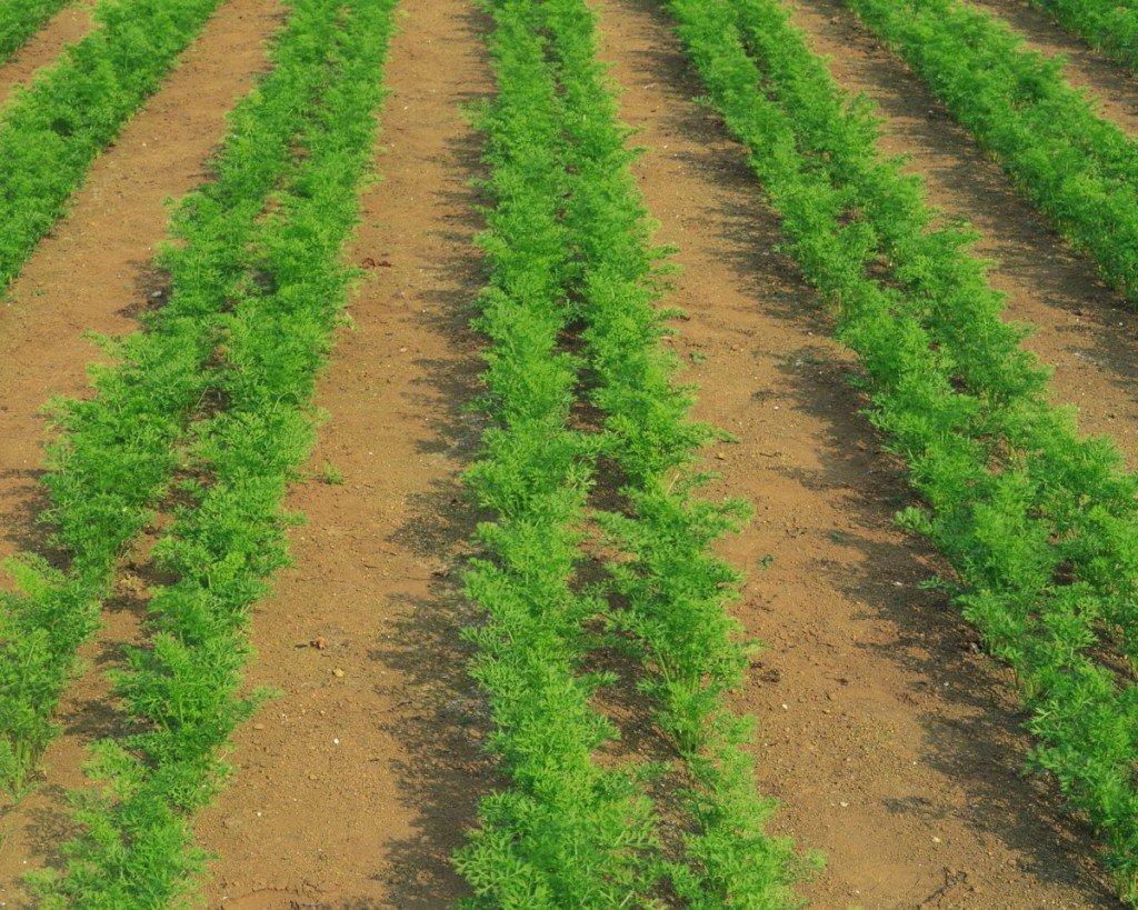 Грядки с морковкой в грунте