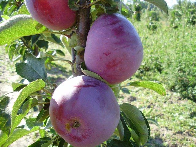 Очаковский сорт плодов на ветке