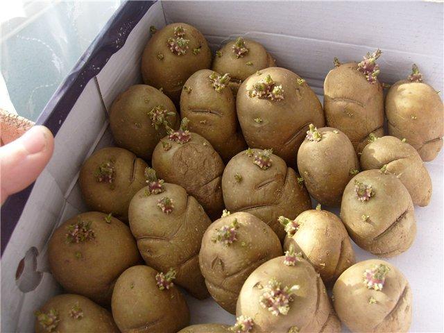 Клубни картофеля в коробке