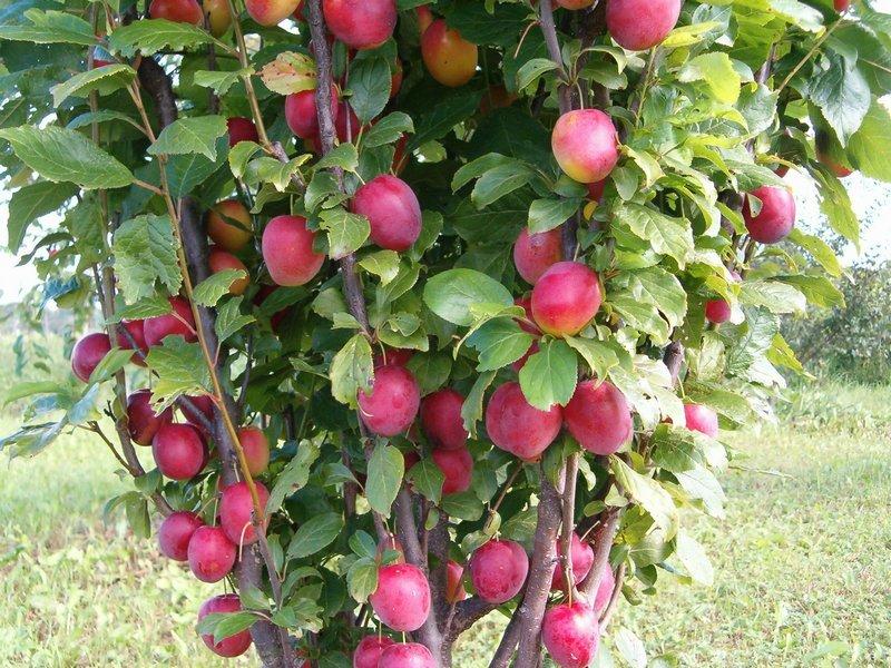 Дерево сливы молодое фото