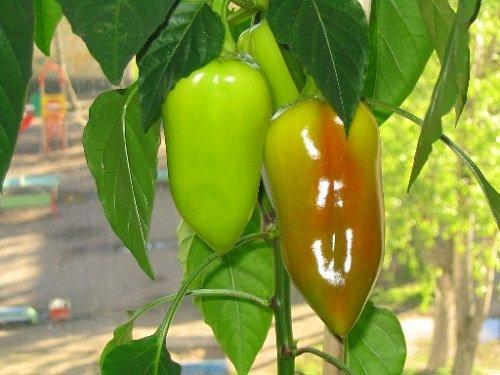 Куст с зелеными перцами