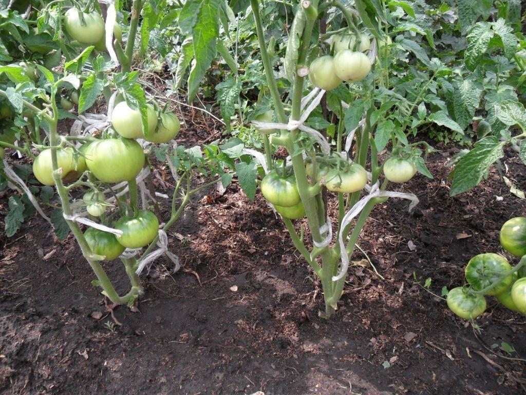 Обзор ранних сортов томатов для открытого грунта