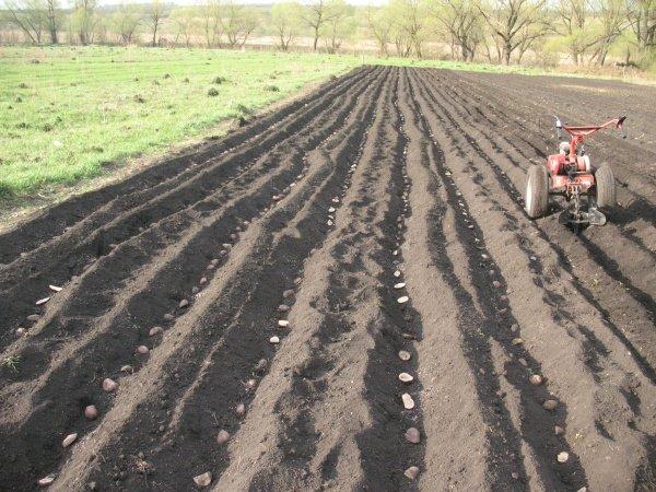 Технология посадки картофеля мотоблоком с окучником