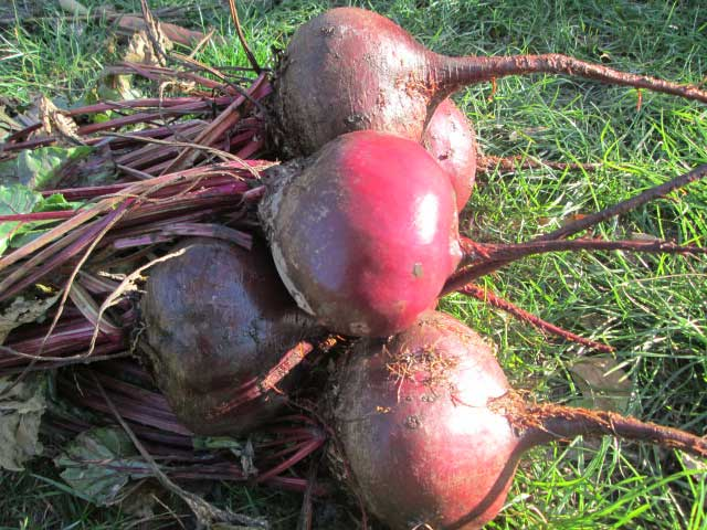 Плоды свеклы на траве