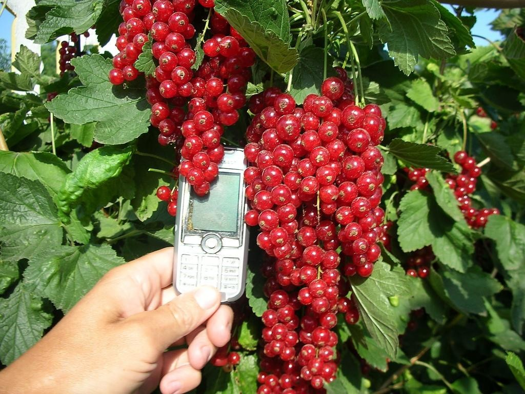 Гигантские ягоды красного цвета