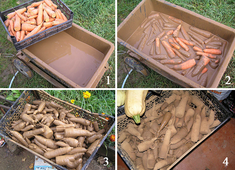 Морковь в глине на фото