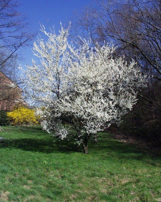 Цветущее дерево весной на фото