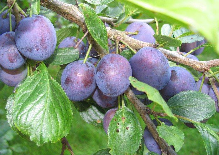 Спелые плоды на дереве