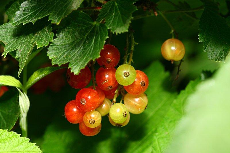 Спелые и не очень ягоды