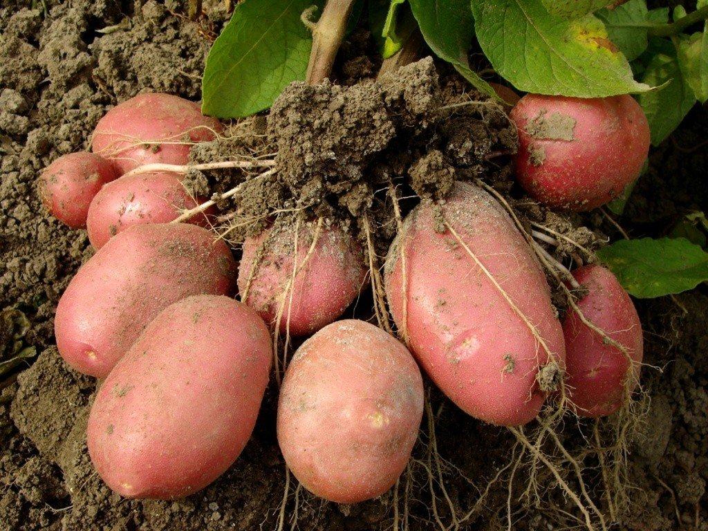 Характеристика и выращивание сорта картофеля Розара