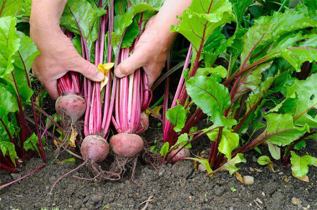 Садовод собирает урожай свеклы
