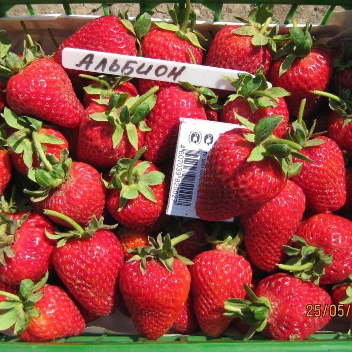 Спелые плоды Альбион в ящике