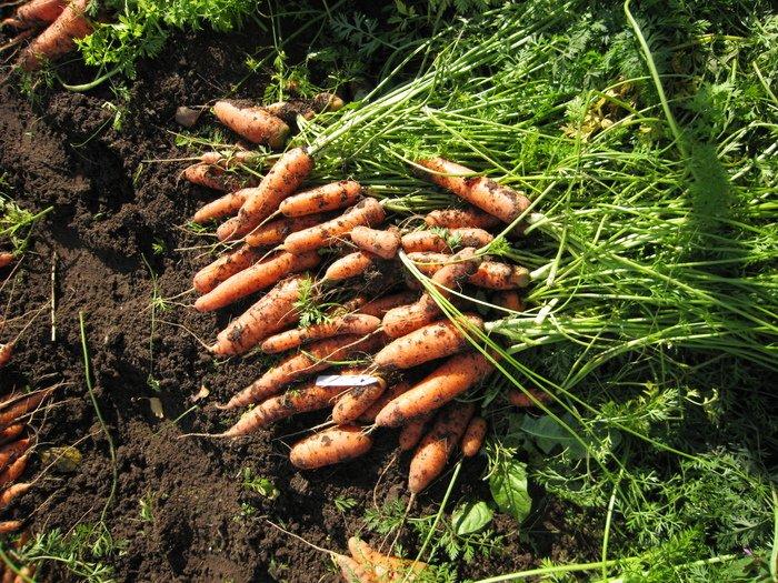 Гора морковки на земле