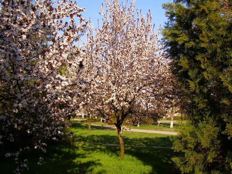 Цветущее дерево слива фото