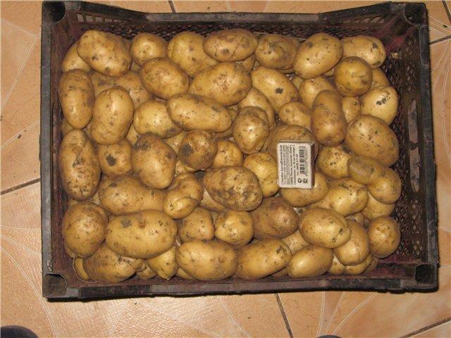 Картофель сорта Беллароза в ящике