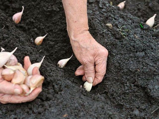 Последовательная посадка семян в грунт