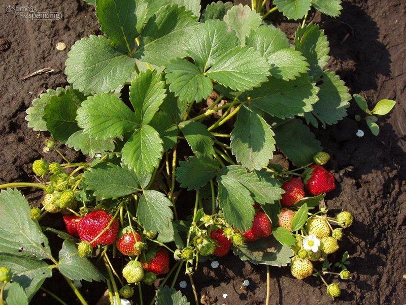 Красные ягоды на снимке