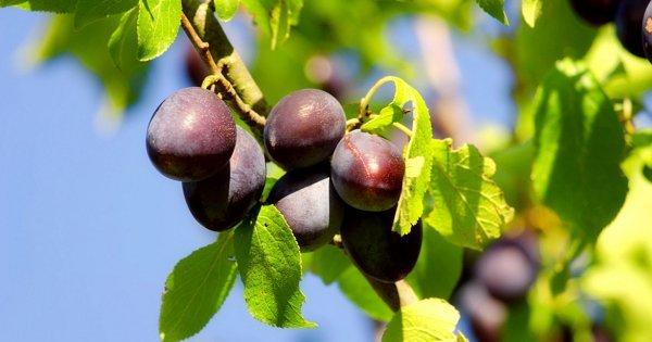 Спелые плоды под солнцем