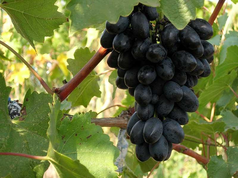 Гроздь спелого винограда на ветке