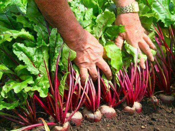 Урожай на дачном огороде