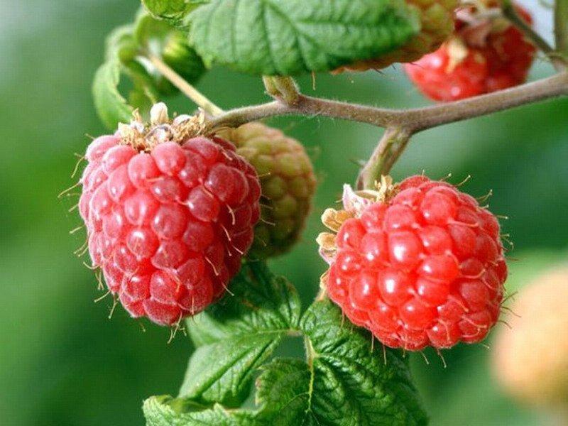 Ярко-розовые ягоды на веточке