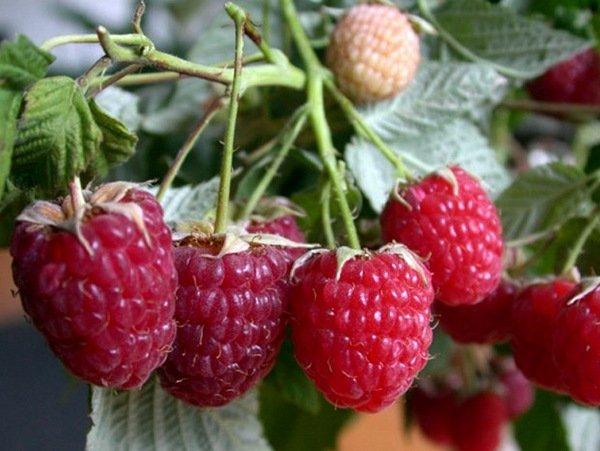 Несколько ягод на кустике