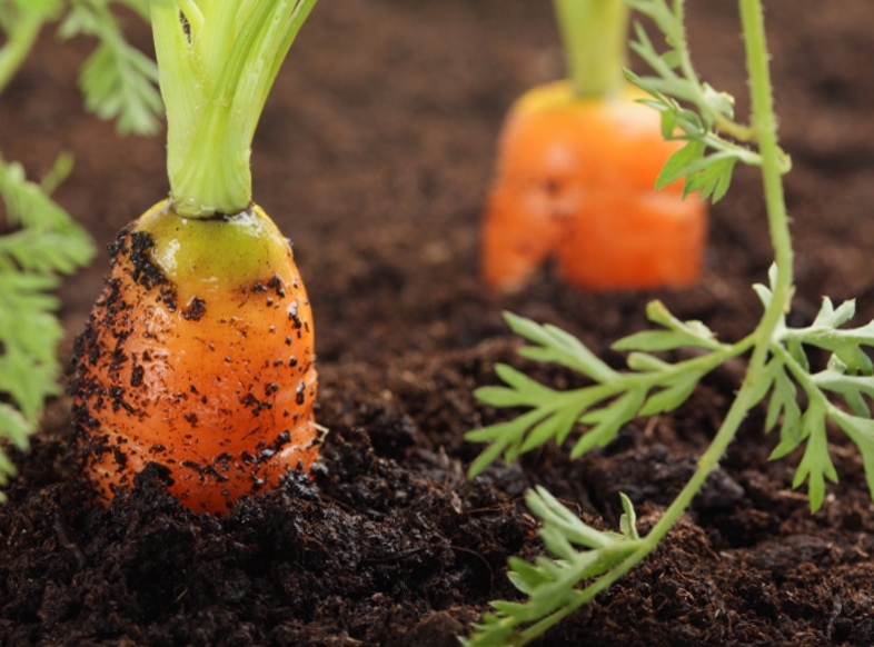 Инструкция по подготовке семян моркови к посадке
