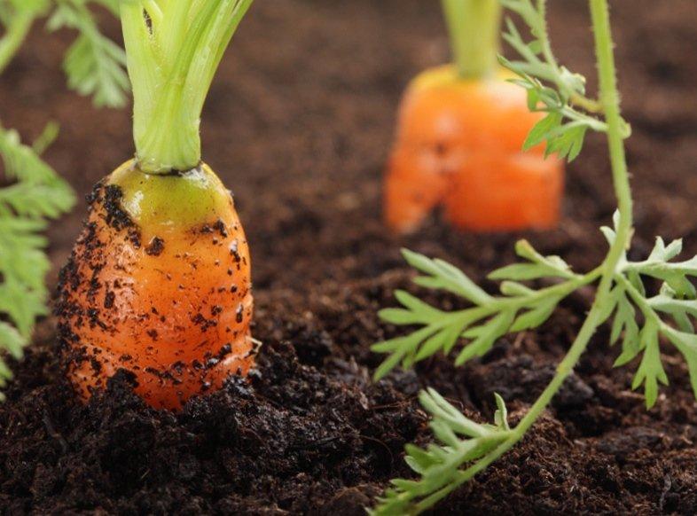 Секрет как сеять морковь чтобы не прореживать