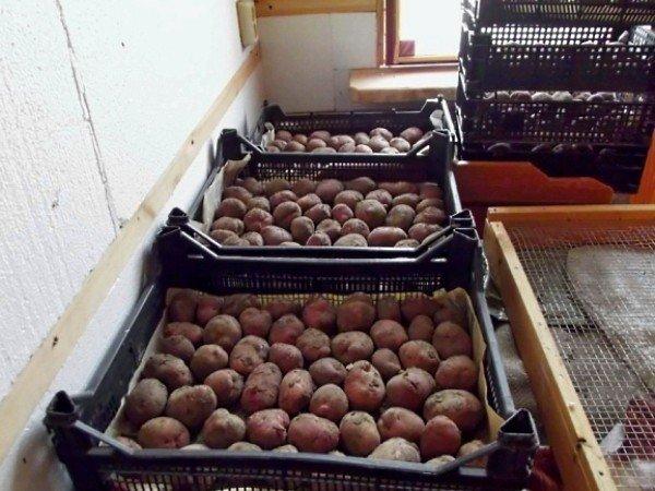 Методы обработки картофеля перед посадкой
