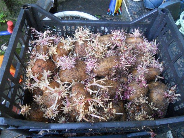 Способы проращивания картофеля перед посадкой