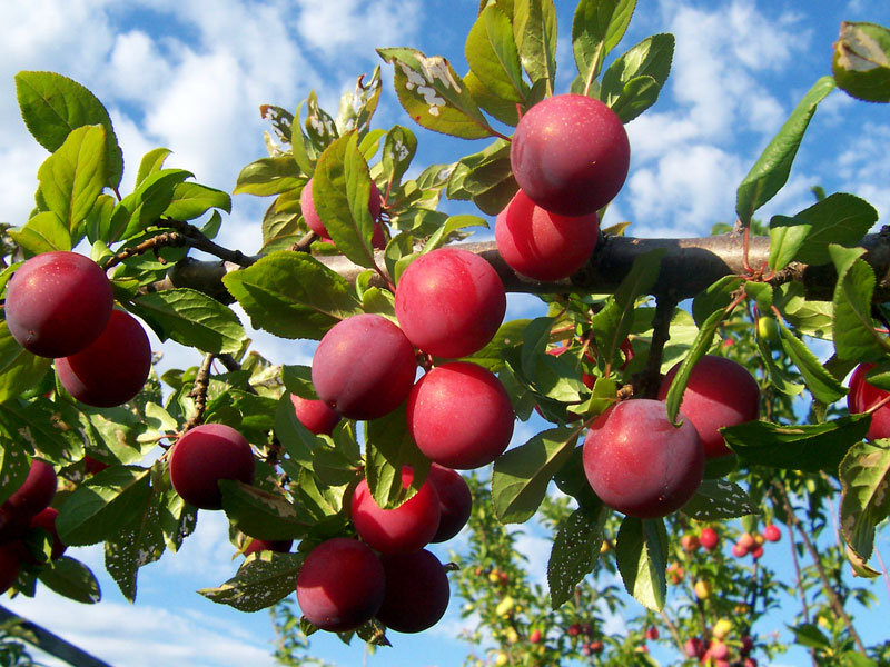 Ярко-красные плоды фото