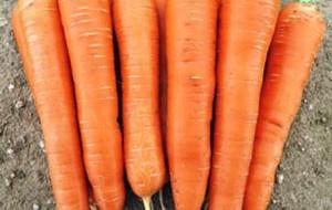 Ранний сорт моркови на фото