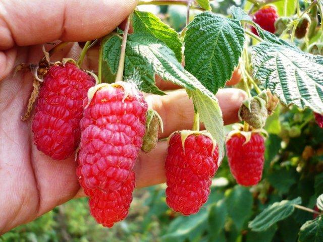 Спелые алые ягоды в руке