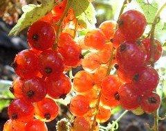 Золотистые плоды на фото