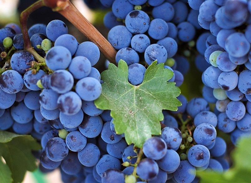 Спелые синие ягоды на ветке