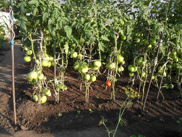 Лучшие сорта низкорослых помидоров для открытого грунта