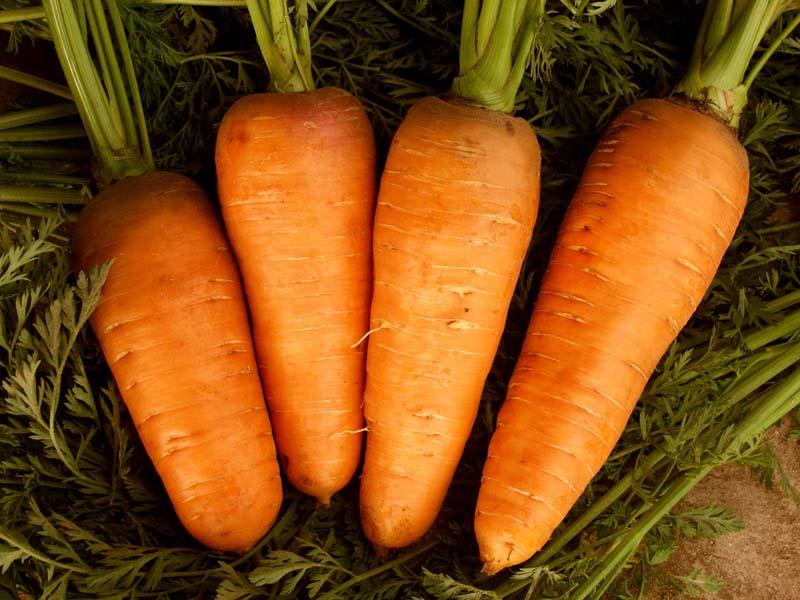 Правила выращивания моркови и ухода в открытом грунте