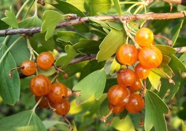Красивые и спелые ягоды