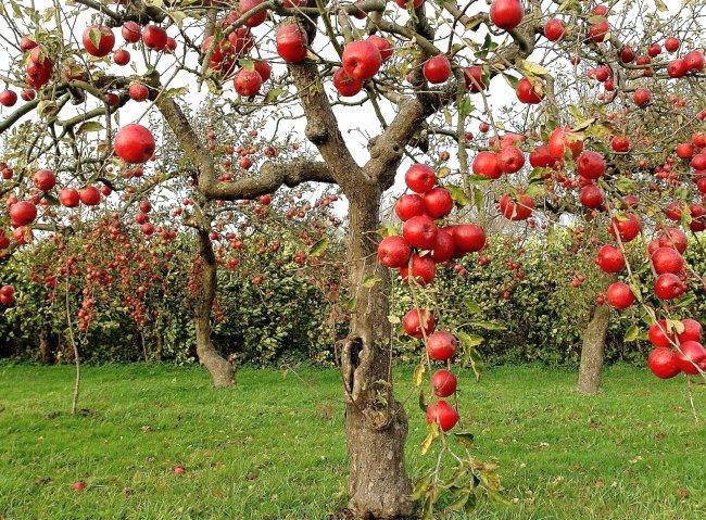 Красивая красная яблоня с плодами