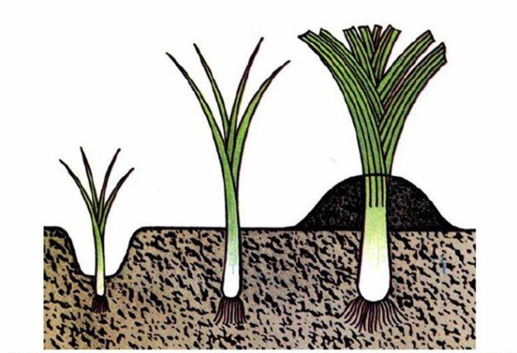 Процесс роста лука на схеме