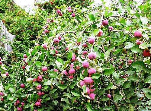 Пурпурные яблоки на снимке