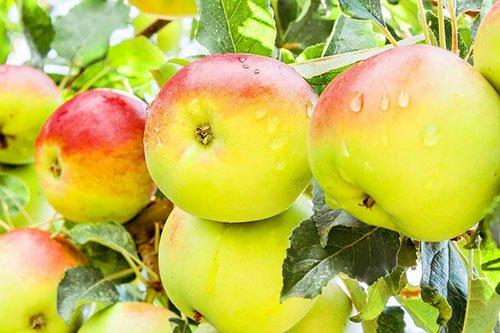 Крупные плоды спелой яблони