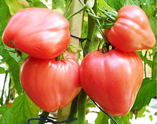 Большие плоды сорта Бычье сердце